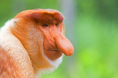 HMS1935289 Malaysia, Sabah state, Labuk Bay, Proboscis monkey or long-nosed monkey (Nasalis larvatus, )male the chief