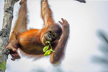 HMS1935296 Malaysia, Sabah state, Sandakan, Sepilok Orang Utan Rehabilitation Center, Northeast Bornean orangutan (Pongo pygmaeus morio), young