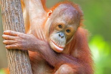 HMS1935297 Malaysia, Sabah state, Sandakan, Sepilok Orang Utan Rehabilitation Center, Northeast Bornean orangutan (Pongo pygmaeus morio), young