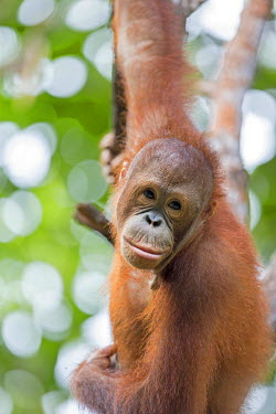 HMS1935299 Malaysia, Sabah state, Sandakan, Sepilok Orang Utan Rehabilitation Center, Northeast Bornean orangutan (Pongo pygmaeus morio), young