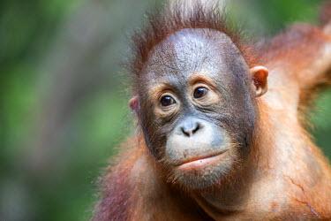 HMS1935303 Malaysia, Sabah state, Sandakan, Sepilok Orang Utan Rehabilitation Center, Northeast Bornean orangutan (Pongo pygmaeus morio), young