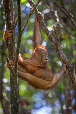 HMS1935304 Malaysia, Sabah state, Sandakan, Sepilok Orang Utan Rehabilitation Center, Northeast Bornean orangutan (Pongo pygmaeus morio), young