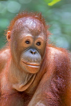 HMS1935311 Malaysia, Sabah state, Sandakan, Sepilok Orang Utan Rehabilitation Center, Northeast Bornean orangutan (Pongo pygmaeus morio), young