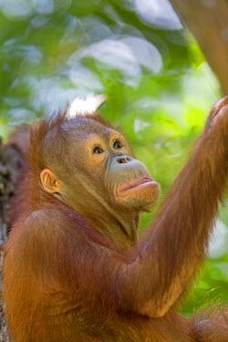 HMS1935313 Malaysia, Sabah state, Sandakan, Sepilok Orang Utan Rehabilitation Center, Northeast Bornean orangutan (Pongo pygmaeus morio), young in the nest or beside his nest