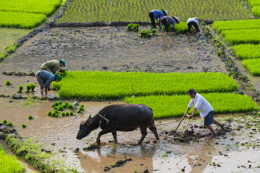HMS2099614 Vietnam, Son La province, Phu Yen, transplanting young rice and ploughing, White Thai ethnic group or Tai Krao