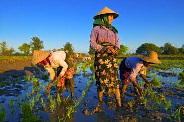 HMS0230608 Myanmar (Burma), Mandalay Division, Ava, near the monastery Kyaung Me Nu Ok, Ma Te Tin, Marmaraye and San San Win transplanting rice seedlings in paddy fields