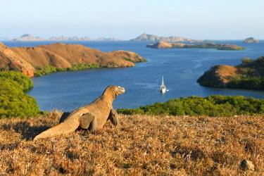 HMS0653883 Komodo Dragon (Varanus komodoensis), Rinca Island,  Indonesia