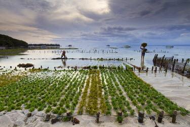 HMS1723037 Indonesia, Bali, Nusa Lembongan Island, Jungutbatu bay, farming of seaweeds