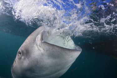 HMS1913235 Indonesia, West Papua, Cenderawasih Bay, Whale Shark (Rhincodon typus), feeding