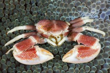 HMS1956352 Indonesia, North Sulawesi, Lembeh Strait, Neopetrolisthes maculatus, Porcelain Crab