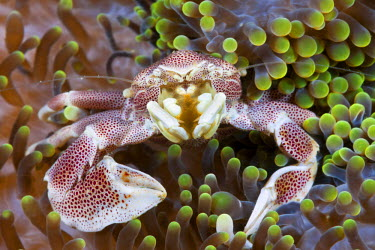 HMS2139678 Indonesia, Moluccas, Ambon, Porcelain Crab (Neopetrolisthes maculatus), associated with Sea Anemone