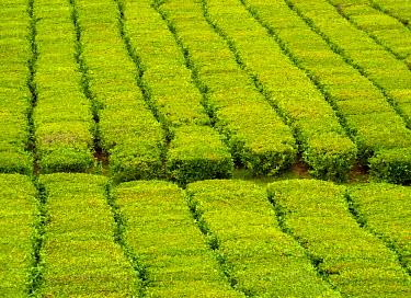 POR8556AW Portugal, Azores, Sao Miguel, municipality of Ribeira Grande, Porto Formoso, view of the Tea Field of the Fabrica de Cha Porto Formoso.