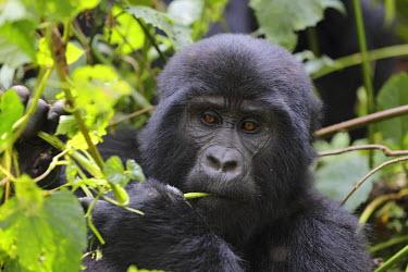 NIS227133 Gorilla (Gorilla Gorilla) eating in a forest, Uganda, Bwindi Impenetrable Forest