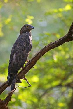 NIS228383 Crested honey buzzard (Pernis ptilorhynchus), India, Rajasthan, Ranthambhore National Park