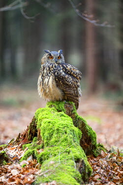 NIS231842 Eurasian Eagle-owl (Bubo bubo) sitting on a moss-covered tree-stump in a forest clearing, Czech Republic, South Bohemia, Zdarske vrchy