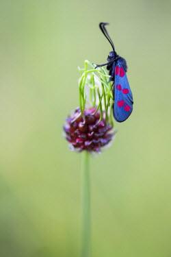 NIS232850 Six-spot Burnet (Zygaena filipendulae)is a day-flying moth on flower, France, Isere