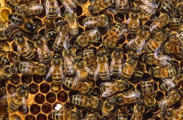 NIS94301 Honey Bee (Apis mellifera)  workers on a honeycomb, The Netherlands, Noord Holland, Durgerdam