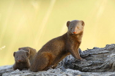 NIS233867 Three Dwarf Mongoose (Helogale parvula) on a fallen tree trunk, South Africa, Mpumalanga, Kruger National Park