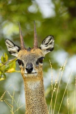 NIS233905 Klipspringer (Oreotragus oreotragus) portrait, South Africa, Mpumalanga, Kruger National Park