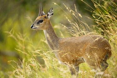 NIS233907 Klipspringer (Oreotragus oreotragus)  standing in vegetation, South Africa, Mpumalanga, Kruger National Park