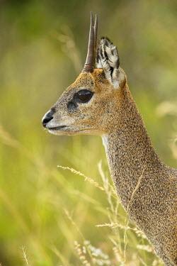 NIS233908 Klipspringer (Oreotragus oreotragus) portrait, South Africa, Mpumalanga, Kruger National Park