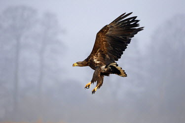 NIS234315 White-tailed Eagle (Haliaeetus albicilla) in flight, Poland