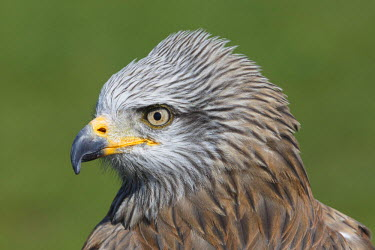 NIS234411 Black Kite (Milvus migrans) portrait in close up against a green background, Germany, Muritz