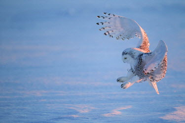 Snowy Owl (Bubo scandiacus) hunting in flight, Canada