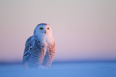 NIS234686 Snowy Owl (Bubo scandiacus) standing in the snow, Canada