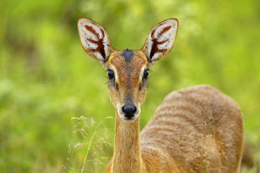 NIS234763 Oribi Antelope (Ourebia ourebi) female portrait in close up, Uganda, Murchison Falls National Park