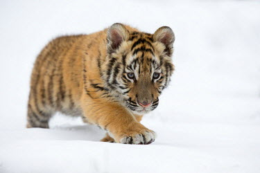 Siberian Tiger (Panthera Tigris Altaica) cub learning to stalk in the snow, USA, Montana