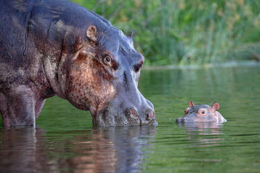 NIS235640 Hippopotamus (Hippopotamus amphibius) adult in the water with young calf, Uganda