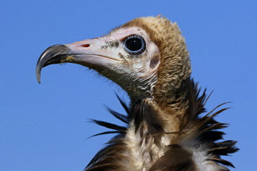 Hooded Vulture (Necrosyrtes monachus) portrait against a blue sky, The Netherlands