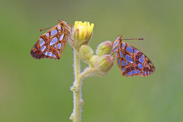 NIS237700 Side view of two Queen of Spain Fritillaries (Issoria lathonia) on unidentified yellow flower, Spain, Andalusia, Alpujarras