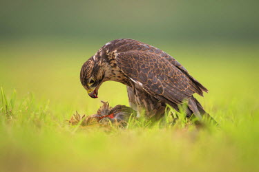 NIS238037 Saker Falcon (Falco Cherrug) eating his prey, The Netherlands, Overijssel, Kampen