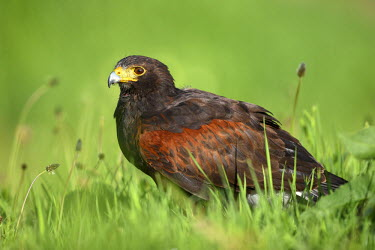NIS238038 Harris' Hawk (Parabuteo unicinctus) perched in grassland, The Netherlands, Overijssel, Kampen