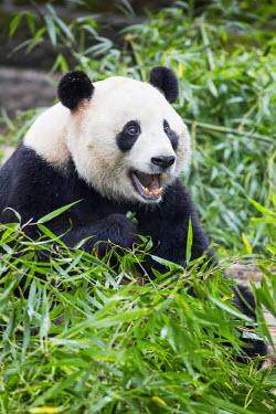 AS07PSO0361 China, Sichuan Province, Chengdu, Giant Panda Bear (Ailuropoda Melanoleuca) eating bamboo shoots at Chengdu Research Base of Giant Panda Breeding