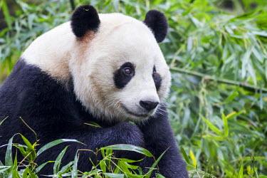 AS07PSO0363 China, Sichuan Province, Chengdu, Giant Panda Bear (Ailuropoda Melanoleuca) eating bamboo shoots at Chengdu Research Base of Giant Panda Breeding