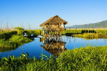 AS06IHO0480 Myanmar. Shan State. Inle Lake. Floating farm.