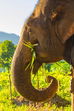 AS06IHO0854 Myanmar. Shan State. Near Kalaw. Green Hill Valley Elephant Camp. Elephant eating sugar cane.