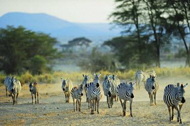 AF21AAS0030 Kenya, Amboseli National Park, zebras running in the dust