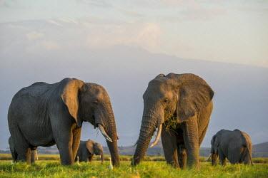 AF21AJN0506 Africa, Kenya, Amboseli National Park, elephant