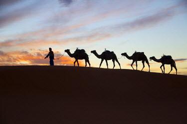 AF29EWI0011 North Africa, Tafilalet, Erfoud, Merzouga, Erg Chebbi, Dromedary (Camelus dromedarius) camels, caravan being led through desert by Tuareg man, on the Erg Chebbi Dunes (up to 400 ft in height).