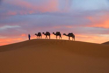 AF29EWI0012 North Africa, Tafilalet, Erfoud, Merzouga, Erg Chebbi, Dromedary (Camelus dromedarius) camels, caravan being led through desert by Tuareg man, on the Erg Chebbi Dunes (up to 400 ft in height).