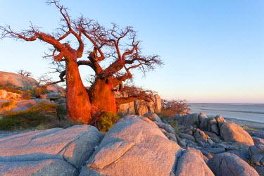 AF05PSO0300 Africa, Botswana, Morning sun lights Baobab trees growing atop dry granite outcrop of Kubu Island in Makgadikgadi Pan within Kalahari Desert