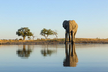 AF05PSO0335 Africa, Botswana, Chobe National Park, African Elephant (Loxodonta Africana) stands at edge of water hole in Savuti Marsh