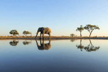 AF05PSO0337 Africa, Botswana, Chobe National Park, African Elephant (Loxodonta Africana) stands at edge of water hole in Savuti Marsh