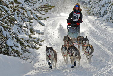 CN02RWR0125 Dog sled races are a popular winter passion for many mushers in northern climates such as British Columbia, the Yukon and Alaska, USA, a hardy blending of animals and human strength.