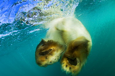 CN15PSO0031 Canada, Nunavut Territory, Underwater view of Polar Bear (Ursus maritimus) swimming near Arctic Circle along Hudson Bay