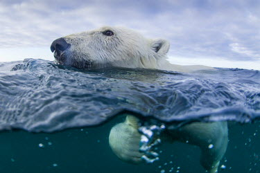 CN15PSO0094 Canada, Nunavut Territory, Repulse Bay, Underwater view of Polar Bear (Ursus maritimus) swimming in Hudson Bay near Harbor Islands